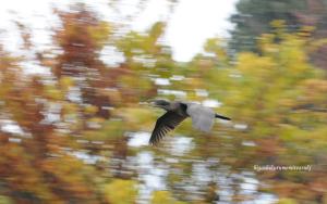 紅葉をバックに飛ぶカワウ