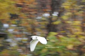 紅葉をバックに飛ぶコサギ