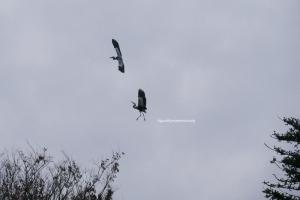 曇り空に舞う2羽のアオサギ