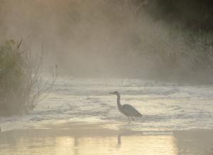 朝霧にうかぶサギ