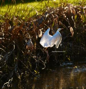 夕日に向かって飛び立つダイサギ