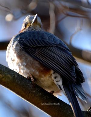 ハナミズキの枝にとまるヒヨドリ