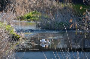 早春のダイサギ