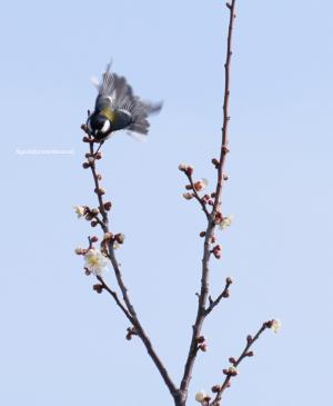 梅にシジュウカラ