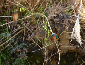 2羽のカワセミ