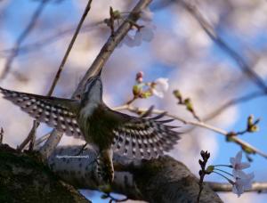 桜の木にコゲラ