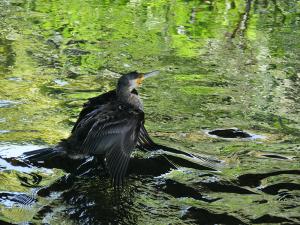 緑の川面にカワウが1羽