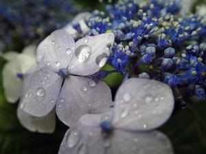 雨に濡れたアジサイ