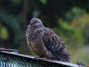 雨の中のキジバト