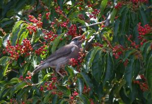 真夏の赤い実とムクドリ