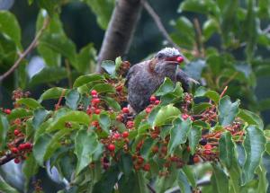 赤い実とヒヨドリ