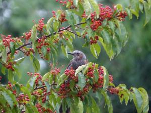 赤い実を食べるヒヨドリ