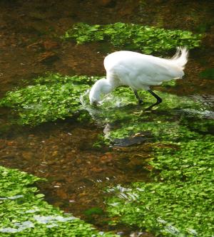水草とコサギ