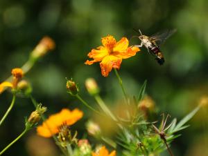 花の蜜を吸うオオスカシバ