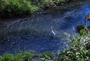 青い水面とコサギ
