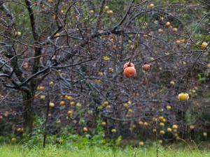 雨に濡れた柿の実
