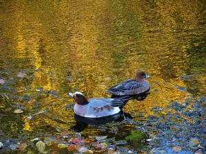 黄金の川面とヒドリガモ