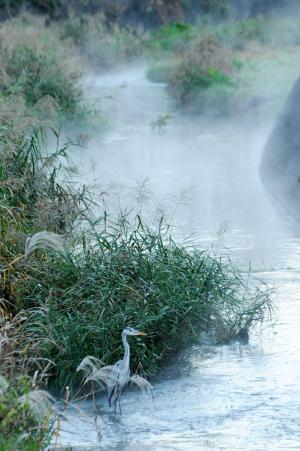 朝霧にたたずむアオサギ