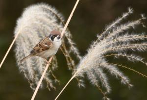 葦穂のスズメ