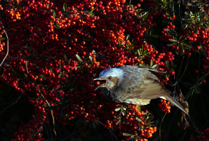 ピラカンサスを食べるヒヨドリ