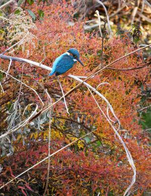 赤い葉っぱに青いカワセミ