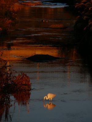 夕日とダイサギ
