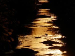夕陽とコサギ