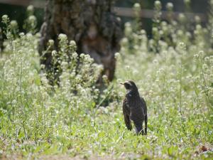 ぺんぺん草とツグミ