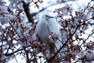 桜の木で夜明かししたコサギ