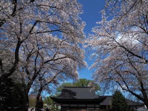桜満開 大円寺