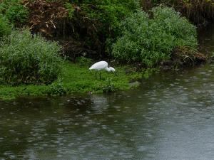 雨の中のコサギ