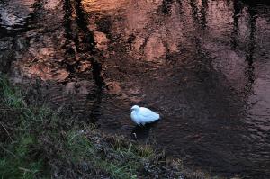 夕陽の川面とコサギ