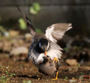 ムクドリの交尾