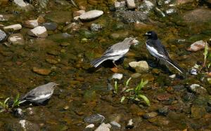 食事をねだるセグロセキレイの若鳥