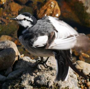 羽を手入れするハクセキレイ
