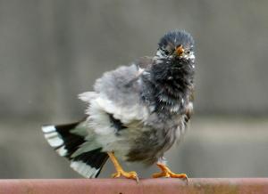 羽を乾かすムクドリ